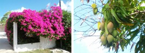 Bougainville en mangoboom